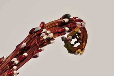 Bild mit Rotbraun, Blüten, Weiden, Äste, zart, Zweige, Silber, Raritäten, glänzend, Weidekätzchen