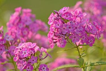 Bild mit Pflanzen, Blumen, Weiß, Rosa, Hintergründe, Bauerngärten, Phlox