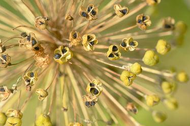 Bild mit Blau, Blüten, Samen, Fruchtstand, Sternkugelzierlauch, Allium_christophil, Sternförmig, Trockenfloristik, Trockenblumen