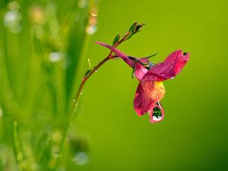 Bild mit Blumen, Sonne, Regentropfen, Reinheit, Regen, Bauerngärten, Klarheit, Schärfe, Sauberkeit