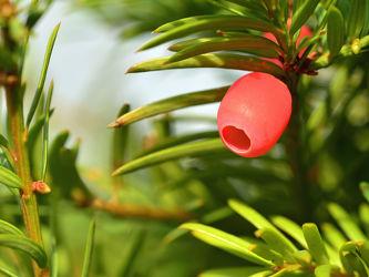 Bild mit Grün, Bäume, Rot, Sträucher, weiblich, giftig, Ostfriese, Taxus, immergrün, Eiben, Eibenbeeren, Nacktsamer, Ebenholz, Gemeine_Eibe, Taxus_baccata