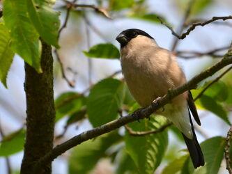 Bild mit Weibchen, Singvögel, Sperlingsvogel, Gimpel, Dompfaff, Pyrrhula_pyrrhula