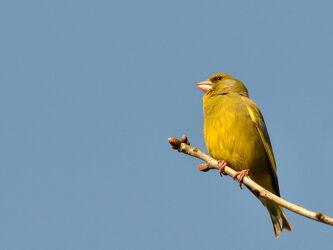 Bild mit Himmel, Bäume, Sträucher, Blau, Vögel, Vögel, Ast, Zugvögel, Singvögel, Sperlingsvogel, Girlitz, Serinus_serinus
