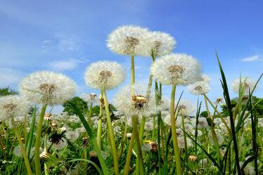 Bild mit Blumen, Herbst, Sommer, Nutzpflanzen, Löwenzahn, Felder, Pusteblumen, Wiesen