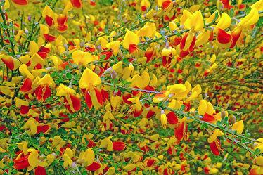 Bild mit Pflanzen, Parks, Sommer, Inseln, Felder, garten, blüte, frühjahr, Borkum, Ginster