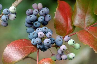 Bild mit Früchte, Herbst, Beeren, Makro, nahaufnahme