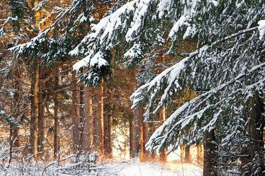 Bild mit Schnee, Sonne, Fichten, Wald, Licht, Abendsonne, Schatten, Zweige