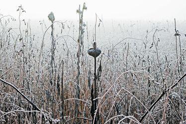 Bild mit Gräser, Winter, Sonnenblumen, Nebel, Kälte, Frost, Raureif, ökofeld