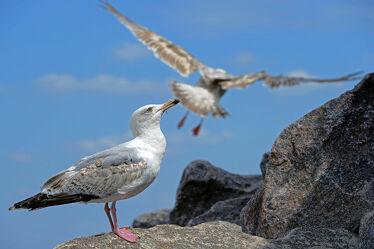 Bild mit Tiere, Vögel, Möwe, Gestein, Flucht, Partner, Basalt, Ankunft