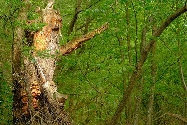 Bild mit Natur, Bäume, Wald, Baum, Abstraktes, alt, Naturschutzgebiet, marode, Öko, Hüter