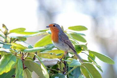 Bild mit Pflanzen, Vögel, Rotkehlchen, 2021