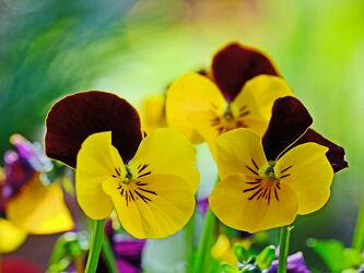 Bild mit Pflanzen, Blumen, Sonne, Makro, Licht, Gefühle, FARBE, nahaufnahme, Stiefmütterchen, aufwärts