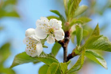 Bild mit blüte, frühjahr, Eisheiligen, Kirschen, Nachtfrost, Verfärbung, Erfroren