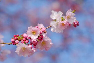 Bild mit Frühling, Makro, nahaufnahme, Zierkirsche, Japanische