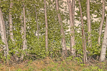 Bild mit Bäume, Birken, Sommer, Hain, Wall, Abendsonnenlicht, Knicks, Reihe