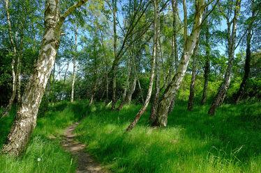 Bild mit Birken, Sommer, Wanderweg, Ausspannen, pfad
