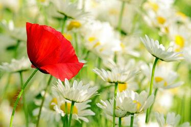 Bild mit Pflanzen, Blumen, Mohn, Margeriten, garten, Bauerngärten