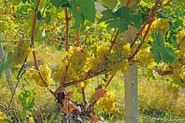 Bild mit Früchte, Beeren, Sonne, Blätter, Weinrebe, Weinberge, stamm, Triebe, Siützen