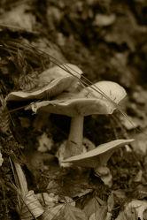 Pilze im Tiroler Wald, sepia Fotografie 2013