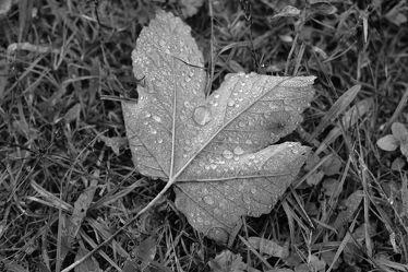 Bild mit Wasser, Gras, Blatt, Regentropfen, Fotografie, Fotografie, schwarz weiß, dekorativ, nass, zeitlos, ahornblatt, Herbstlaub