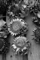 Bild mit Heilpflanze, GESUNDHEIT, GESUND, GENUSS, schwarz weiß, dekorativ, Artischocken, distelartige Kulturpflanze, Blütengemüse, Artischockenblüten
