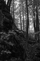 Bild mit Landschaften, Bäume, Wälder, Wald, Baum, Landschaft, Fotografie, schwarz weiß, SW