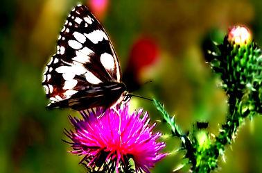 Schmetterling 04