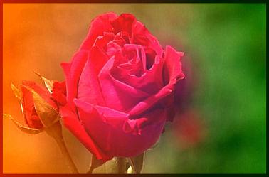 Bild mit Rosen, Rose, Rosenblüte, Blumen im Makro, Blumenmakro
