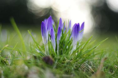 Bild mit Natur, Pflanzen, Blumen, Frühling, Flora, frühlingsblumen, liliengewächse, Blüten, Krokusse, frühblüher, frühjahr, Abend, Abendlicht, Krokus, blühen, frühjahrssonne, frühlingsabend