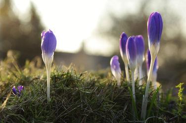 Bild mit Natur, Pflanzen, Blumen, Frühling, Flora, frühlingsblumen, liliengewächse, Blüten, Krokusse, frühblüher, frühjahr, Abend, Abendlicht, Krokus, Frühlingserwachen, blühen, frühjahrssonne, frühlingsabend