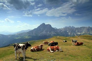 Bild mit Tiere,Natur,Berge,Kühe,Tier,Wiese,Feld,Felder,berg,Gebirge,Tierwelt,Kuh