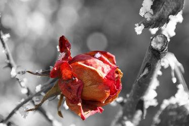Bild mit Pflanzen, Winter, Blumen, Rot, Rosen, Blume, Pflanze, Rose, rote Rose, rote Rosen, Blüten, blüte, Rosenblätter