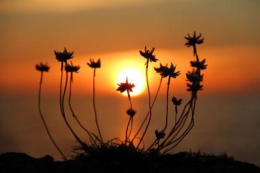 Bild mit Natur, Pflanzen, Blumen, Sonnenuntergang, Sonnenaufgang, Sonne, Blume, Pflanze, Sonnenuntergänge, nelken, sun, Nelke, Grasnelke