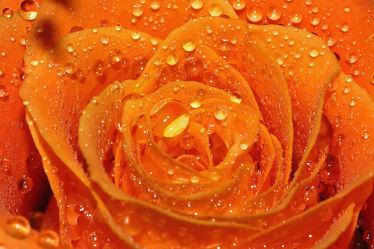 Bild mit Pflanzen, Blumen, Rosen, Blume, Pflanze, Rose, Makro, Regentropfen, Tropfen, Makros