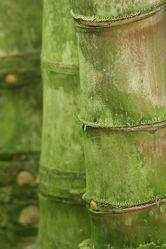 Bild mit Pflanzen, Blumen, Bambus, bamboo, Ruhe, Wellness, asien, BAMBUSGEWäCHSE, exotisch, JAPAN, FERNOST, SEELE, Wandbilder, Bambusmotiv