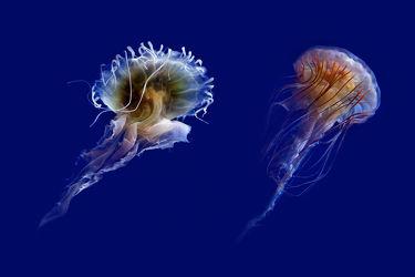 Bild mit Tiere, Natur, Unterwasser, Meere, Meer, Tier, Tierfotografie, Animal, Wildlife, Umwelt, ozean, Tierbild, Tierbilder, Tierfoto, Qualle, Quallen