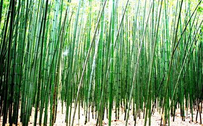 Bild mit Grün, Bambus, Tapeten Muster, Harmonie in Grün, wandtapete, fototapete, bambuswald