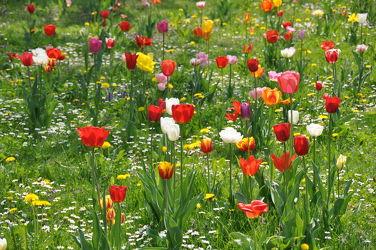 Bild mit Frühling, Rot, Tulpe, Tulips, Tulpen, Wiese, Tulip, Bunt, wiesenblumen, intensiv, farbenfroh, leuchtend, tulpenpracht, tulpenbeet, frühblüher, frühjahr, farbig