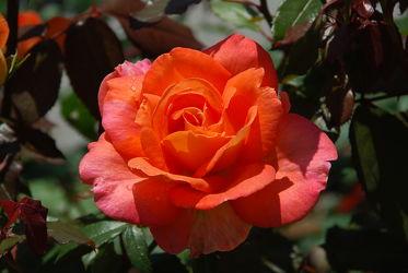 Bild mit Rot, Rosen, Rose, Roses, Schönheit, blüte, beetrose, edelrose, edel, rote