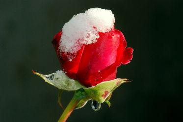 Des Sommers letzte Rose
