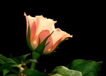 Bild mit Pflanzen, Blumen, Rosen, Blume, Pflanze, Rose, romantik, Liebe