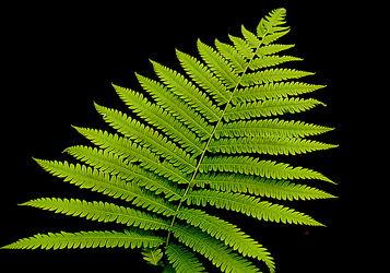 Bild mit Grün, farn, Wellness, Tapete, fototapete, farnblatt, farnblätter, green, grüntöne, wandschmuck, wandtapet