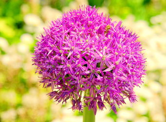 Bild mit Lila, Violett, Abstrakt, Blütenreich, blüte, dekorativ, wandschmuck, lauch, digital bearbeitet, Zierlauchblüte, Kugel, Zierlauch