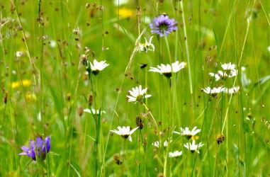 Bild mit Glockenblumen, Margeriten, wiesenblumen, Blumenwiesen, Zittergras
