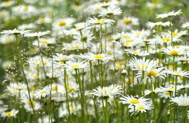 Bild mit Gräser, Margeriten, wiesenblumen, Blumenwiesen