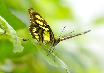 Bild mit Insekten,Schmetterlinge,Schmetterlinge,Tier,Schmetterling,exotische Schönheiten,butterfly,papillon,Tagfalter,Falter,Insekt