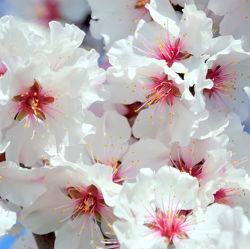 Bild mit Rosa, Frühling, weiss, Mandelblüte, Frühlingsgefühle, Frühlingsgefühle, Mandelblüten, frühjahr, zart, mandelbäumchen, dekorativ