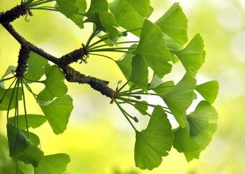 Bild mit Grün,Baum,Blätter,Deko,dekorativ,green,grüntöne,ginkgo,ginkgobaum,ginkgoblätter,ginko,ginkobaum,ginkoblätter,harmonie,harmony,harmonisch