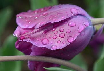Bild mit Lila, Violett, Tulpe, Tulpen, Regentropfen, Tropfen, nahaufnahme, tulpenblüten, tulpenblüte