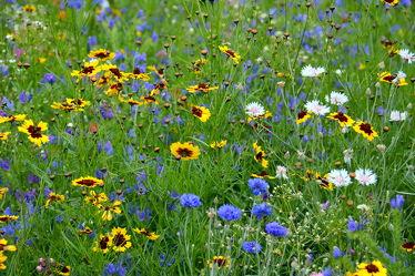 Bild mit Gelb, Gräser, Blau, Sommer, Gras, Wiese, Flowers, Bunt, wiesenblumen, wiesenblumen, Blüten, Tapete, Blumenwiesen, blüte, wandtapete, fototapete, farbenfroh, farbig, freundlich, sommerblumen, wiesenblume, sommerblumenwiese, blumenwiese, flower_field, sommerlich, tischdeckenmuster, natternkopf